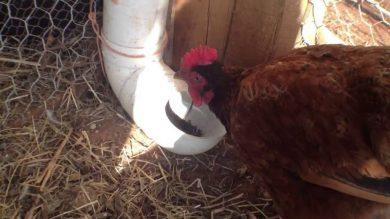 Comment nourrir les poules ?